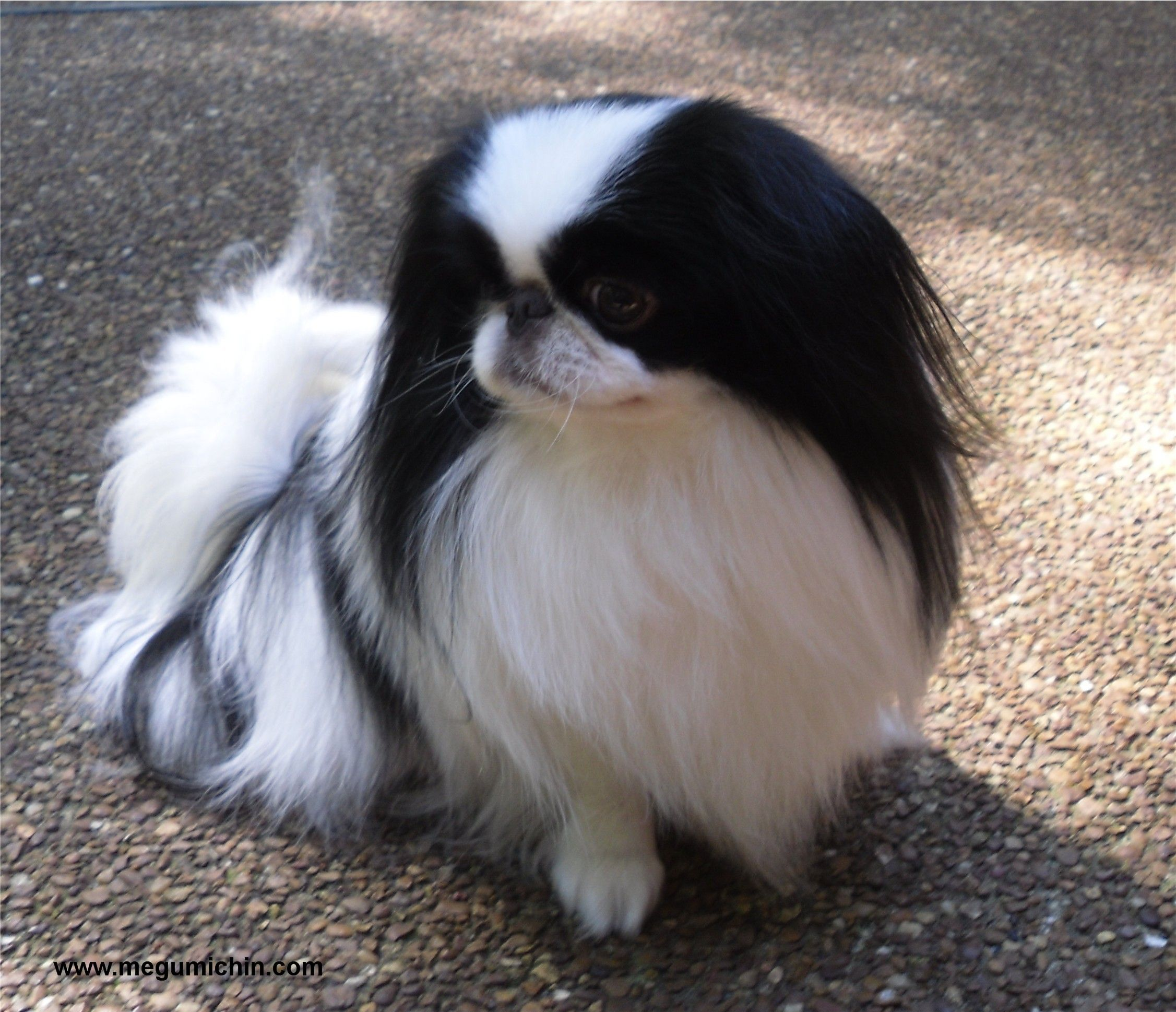 meet zuki our akc champion japanese chin sire japanese chin a board for chin lovers pinterest. Black Bedroom Furniture Sets. Home Design Ideas