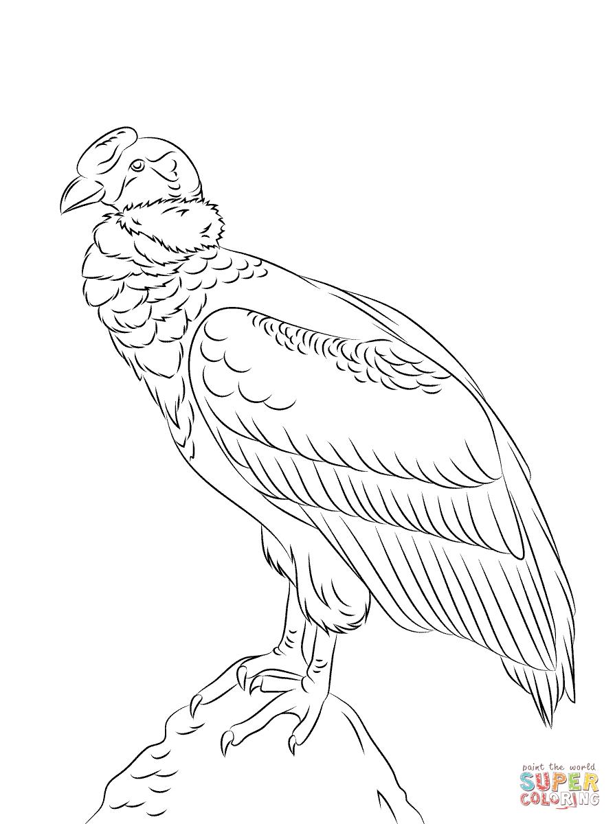 Condor Andino Posado Super Coloring Condor Andino Condor Dibujo Condor