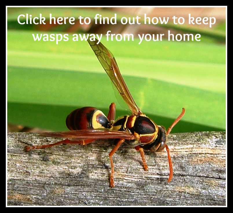 How To Keep Wasps Away From Your Home Wasp, Wasp traps
