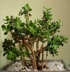 geldbaum crassula garten selbstgemacht gartenblog zimmerpflanzen pinterest. Black Bedroom Furniture Sets. Home Design Ideas