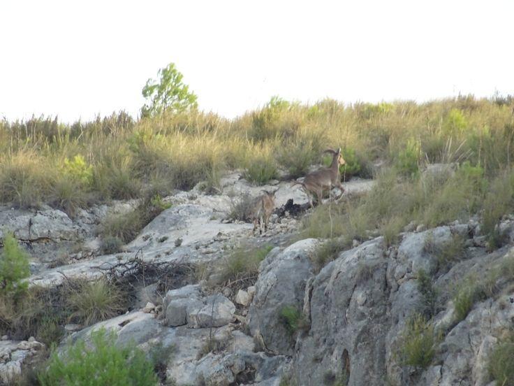 Una pareja de cabras montesas corre por el cañón