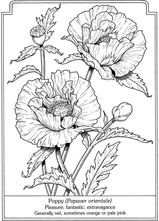 Line Drawing Poppy Flower : Images about clipart floral on pinterest dover
