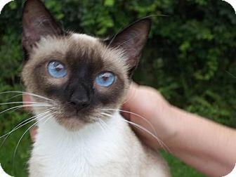 Daytona Beach Fl Siamese Meet Sapphire A Cat For Adoption Cat Adoption Pet Adoption Pets