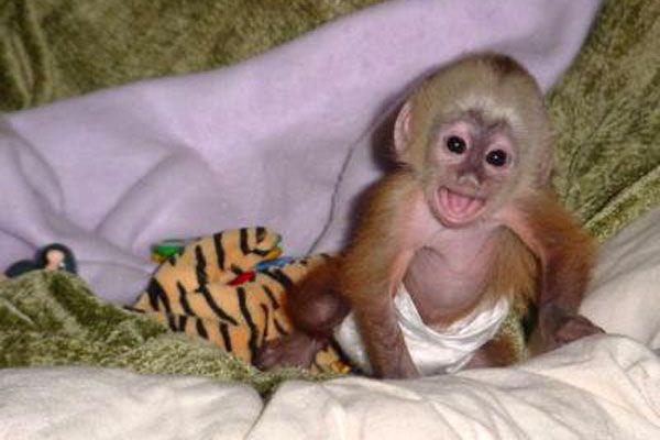 Baby Capuchin Monkey Pictures 5 Jpg 600 400 Capuchin Monkey
