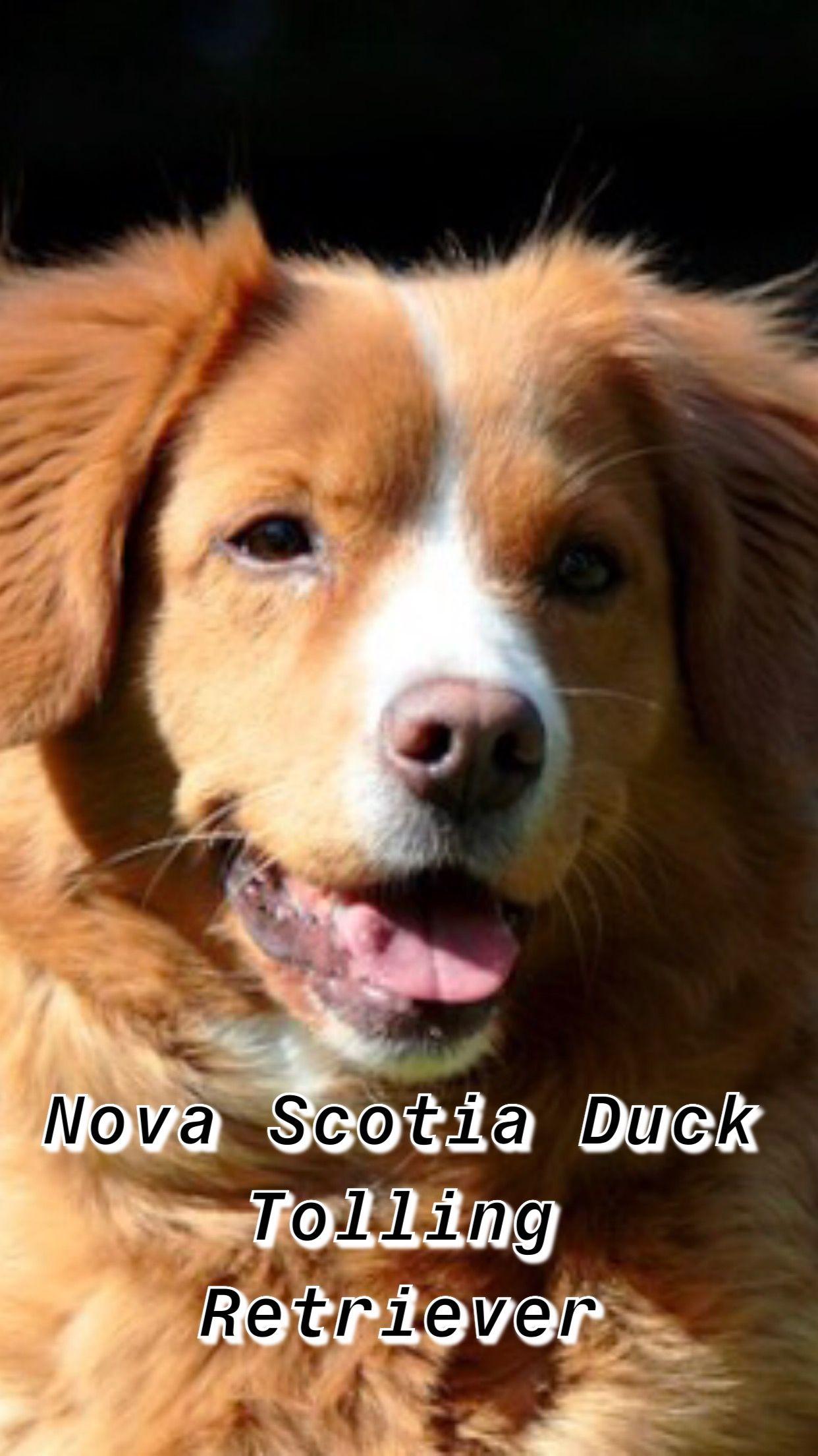 Nova Scotia Duck Tolling Retriever Dog Breed Information Nova Scotia Duck Tolling Nova Scotia Duck Tolling Retriever Duck Retriever