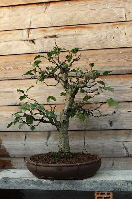 Alder Bonsai Bonsai Bonsai Tree Alder Tree