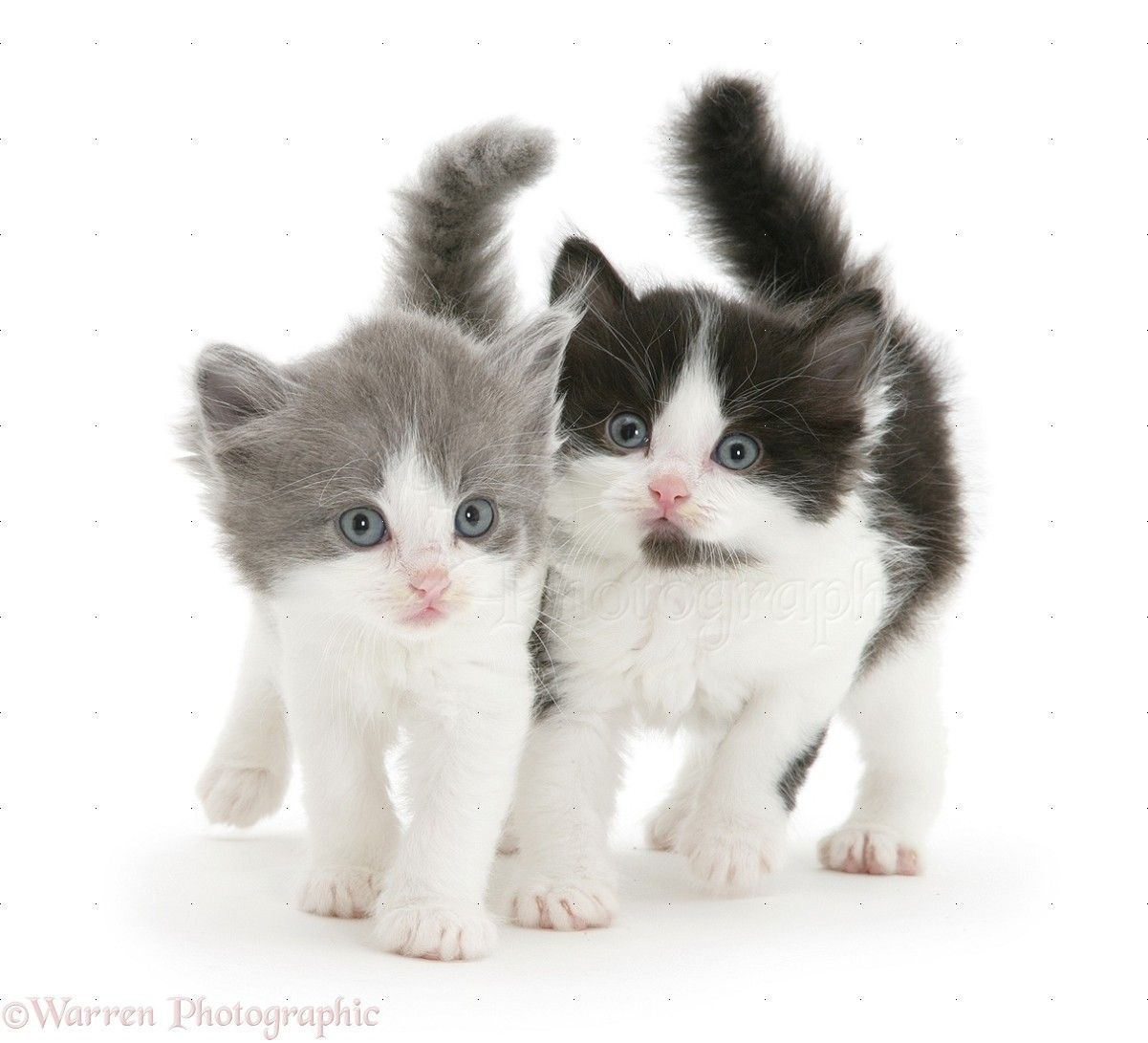 Two Fluffy Kittens A Grey And White Kitten And A Black And White Kitten Both Medium To Long Hair Kittens Cutest Cute Cats And Kittens Black And White Kittens