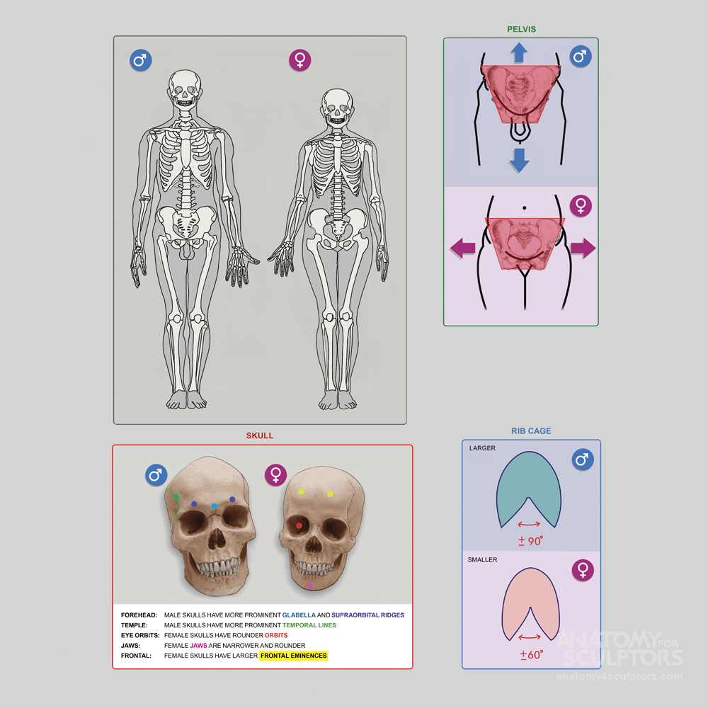 Main Differences Between Male And Female Skeletons Hip And Chest