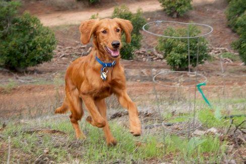 Golden Retriever Irish Setter Hybrid Dog Irish Setter Dogs Hybrid Dogs Dog Friends