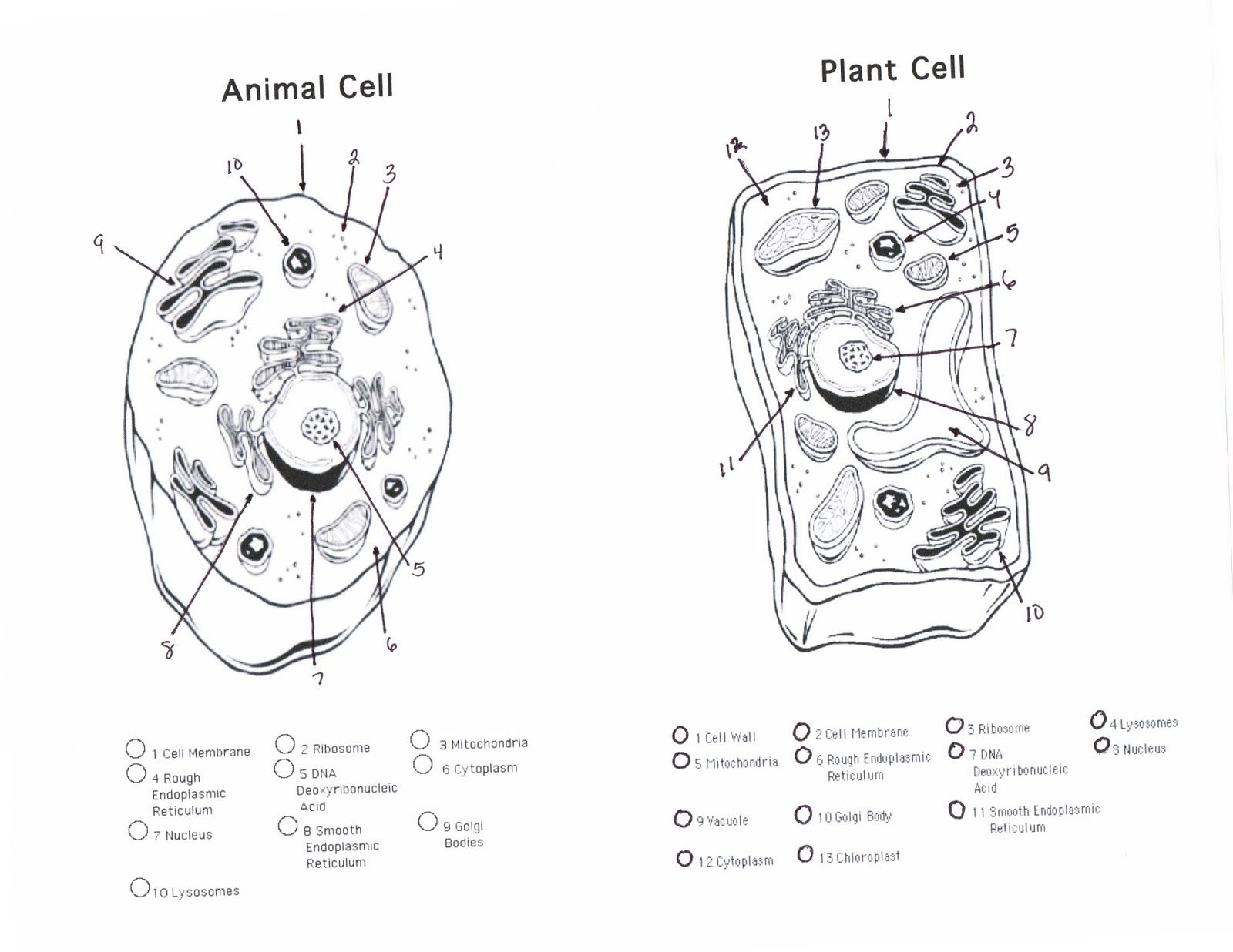 plant and animal cell diagram unlabeled