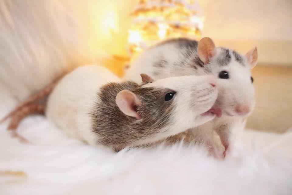 чём любимая крыса картинки небольшое