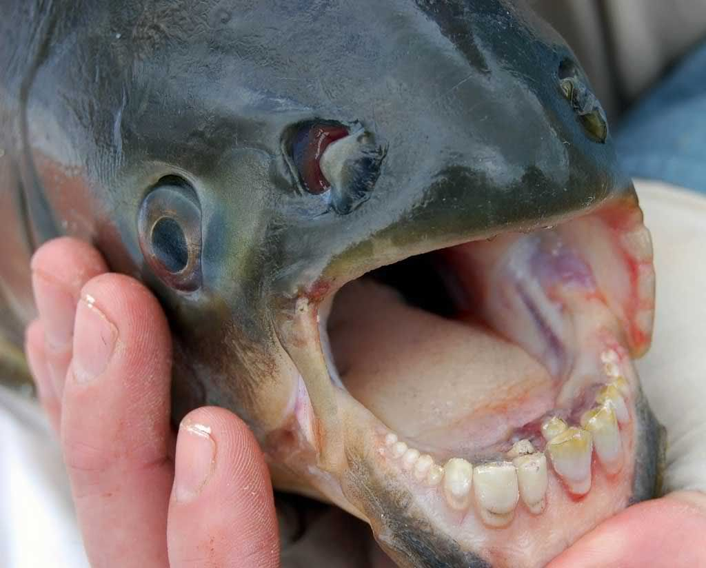Ugly freshwater aquarium fish - Community Post The 10 Weirdest Animals In The Universe
