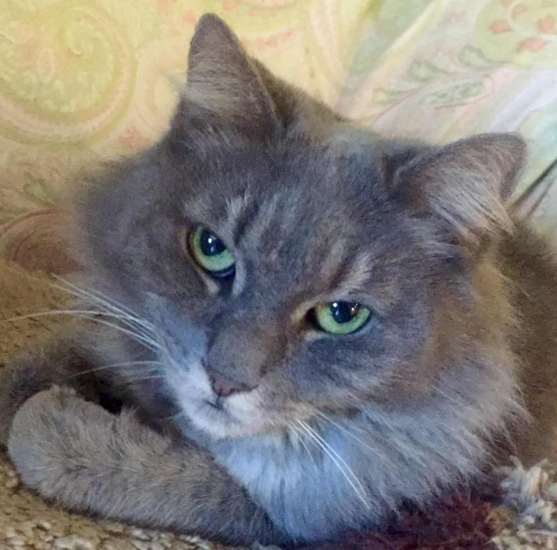 Adopt Princess On Petfinder Pets Animal Rescue Short Hair Cats