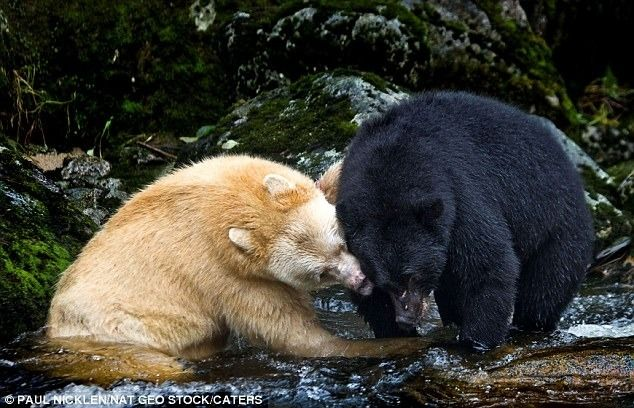 Spirit Bear with Black Brother. I love Paul Nicklen's pictures!