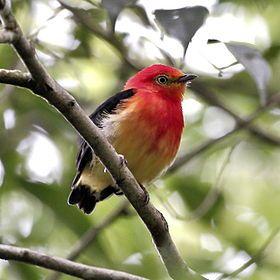 Pipra fasciicauda - Band-tailed manakin (male).JPG  El saltarín naranja2 (Pipra fasciicauda), también denominado bailarín naranja (en Argentina y Paraguay), saltarín de cola bandeada (en Perú), saltarín anaranjado o uirapuru-laranja (en portugués, en Brasil,3 es una especie de ave paseriforme en la familia Pipridae. Es nativa de América del Sur.
