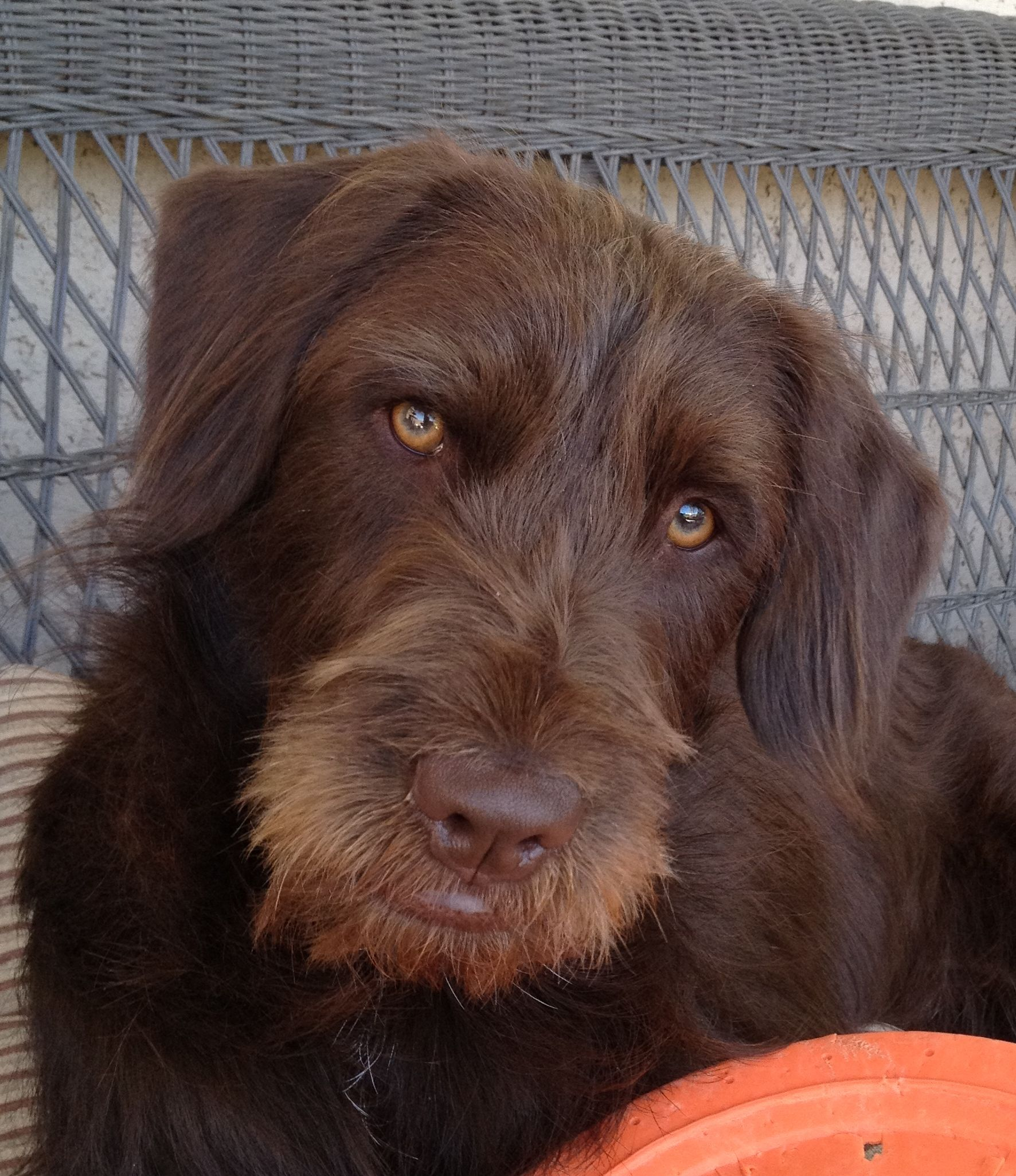 Wirehaired Pointer Griffon And Lab Mix Google Search Baby Jases