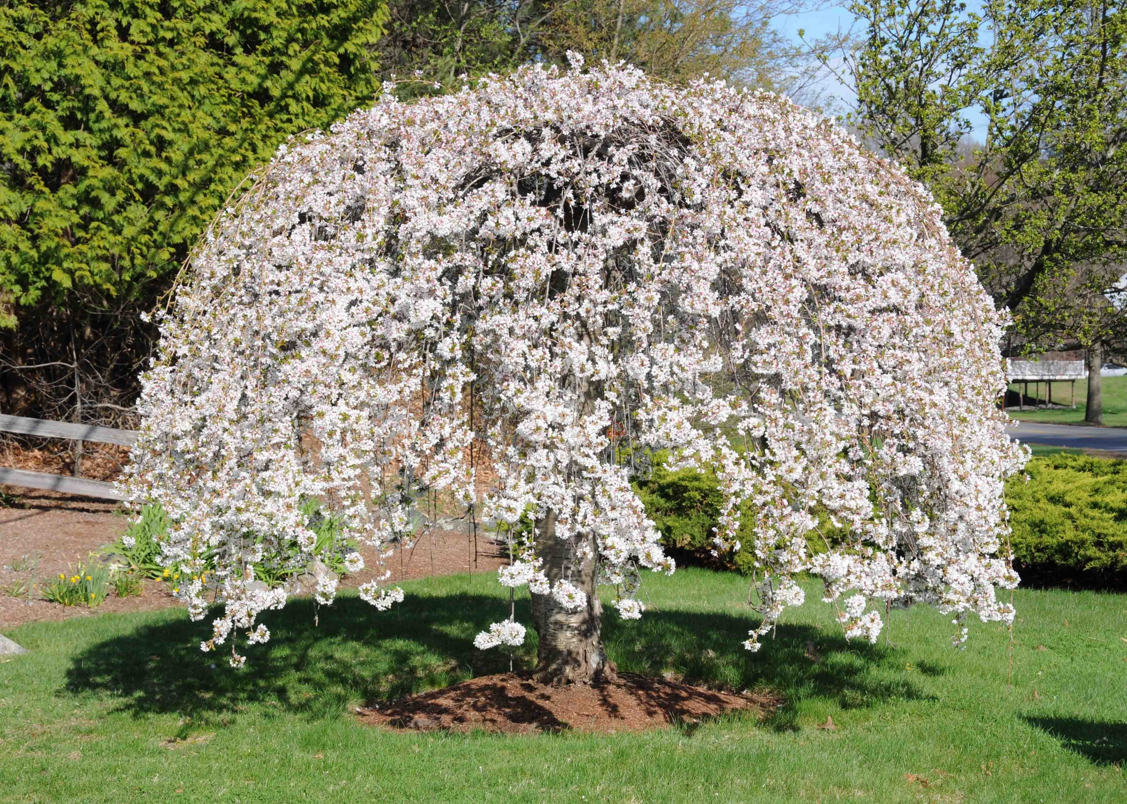 Weeping Cherry Tree Weeping Cherry Tree White Flowering Trees