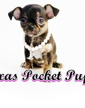 Dallas Tx Teacup Chihuahua Puppies For Sale Dallas Texas Breeder Chihuahua Funny Teacup Chihuahua Puppies Chihuahua Puppies For Sale