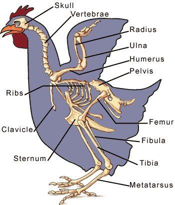 Chicken anatomy bones