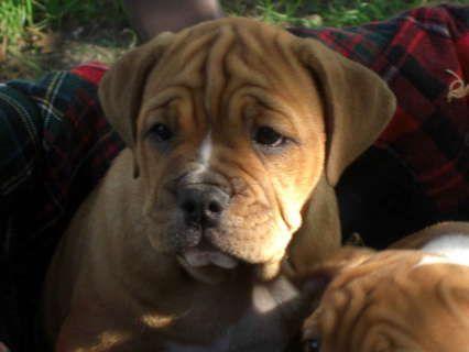♥D♥ 567 ENGLISH BULLWEILER PUPPY | Puppies, Cute animals, Dogs