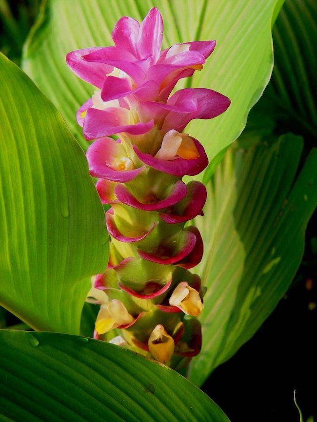 Curcuma Ginger Ginger Plant Flower Ginger Plant Plants