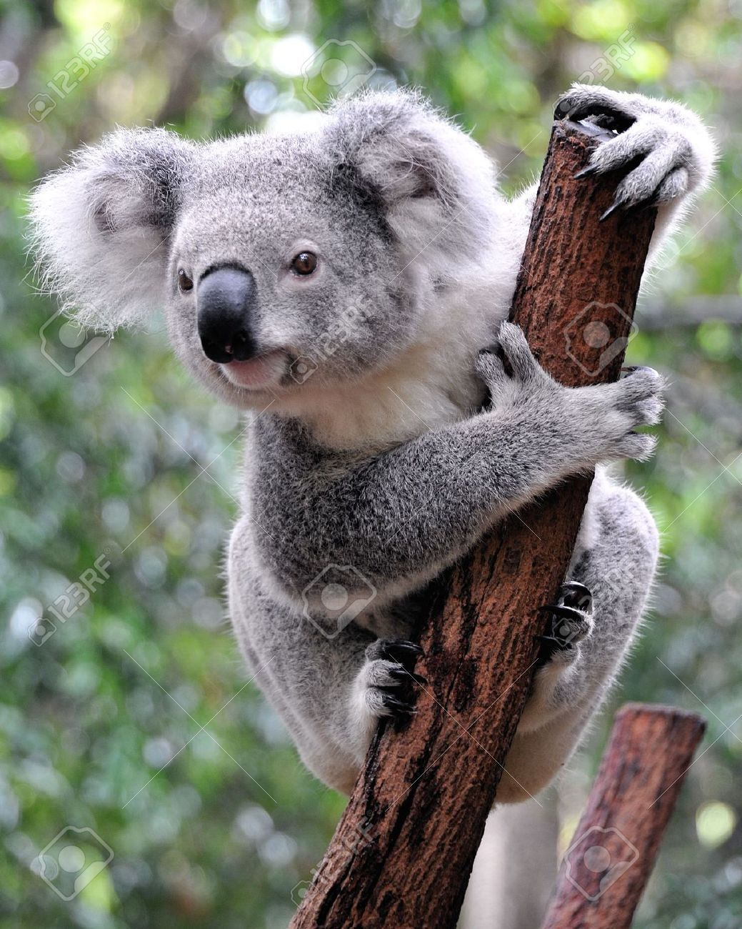 Koala Images, Stock Pictures, Royalty Free Koala Photos