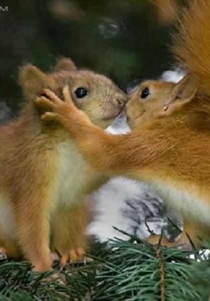These Adorable Baby Red Squirrels Seem To Be Sharing A Kiss While Hiding In Tree The Cute Animals Gave Each Other An Affectionate Peck On Branch