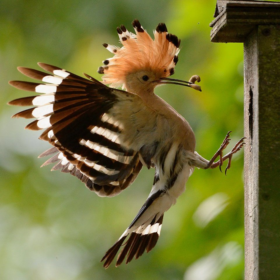 Hoopoe arriving at the nesting box to feed
