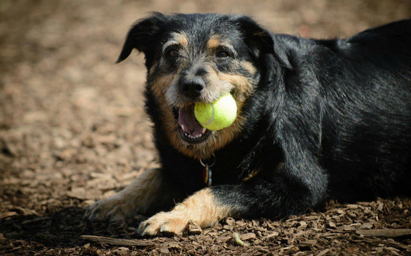While Many Dogs Are Tennis Ball Chewers Their Favorite Pastime Could Pose A Problem To The Health Of Their Teeth Tennisp Dogs Training Your Dog Dog Behavior