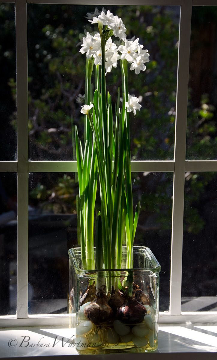 Tuesdays tips forcing paperwhites pt 2 bulbs water and gardens last weeks post was about using a solution of alcohol and water one part alcohol to 10 parts water to restrict the growth of paperwhites mightylinksfo