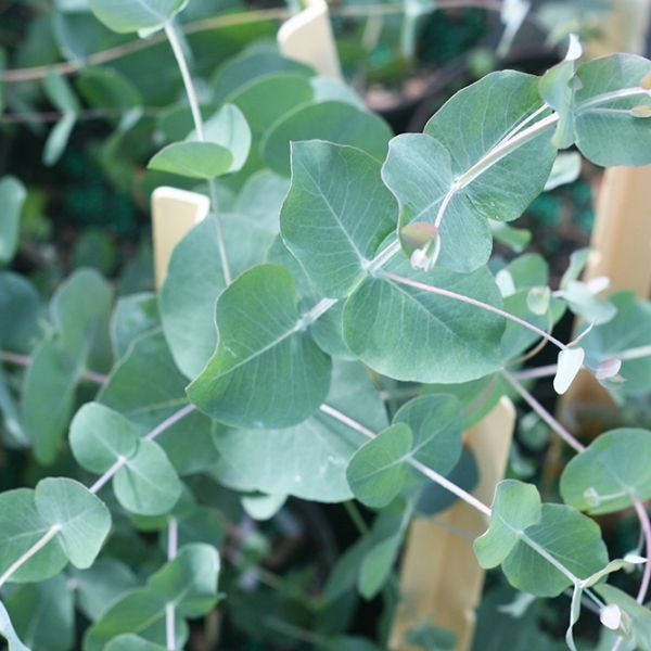 Silver Dollar Eucalyptus Tree For Sale Buy Eucalyptus Plant With Images Perfect Plants Silver Dollar Eucalyptus Eucalyptus Tree