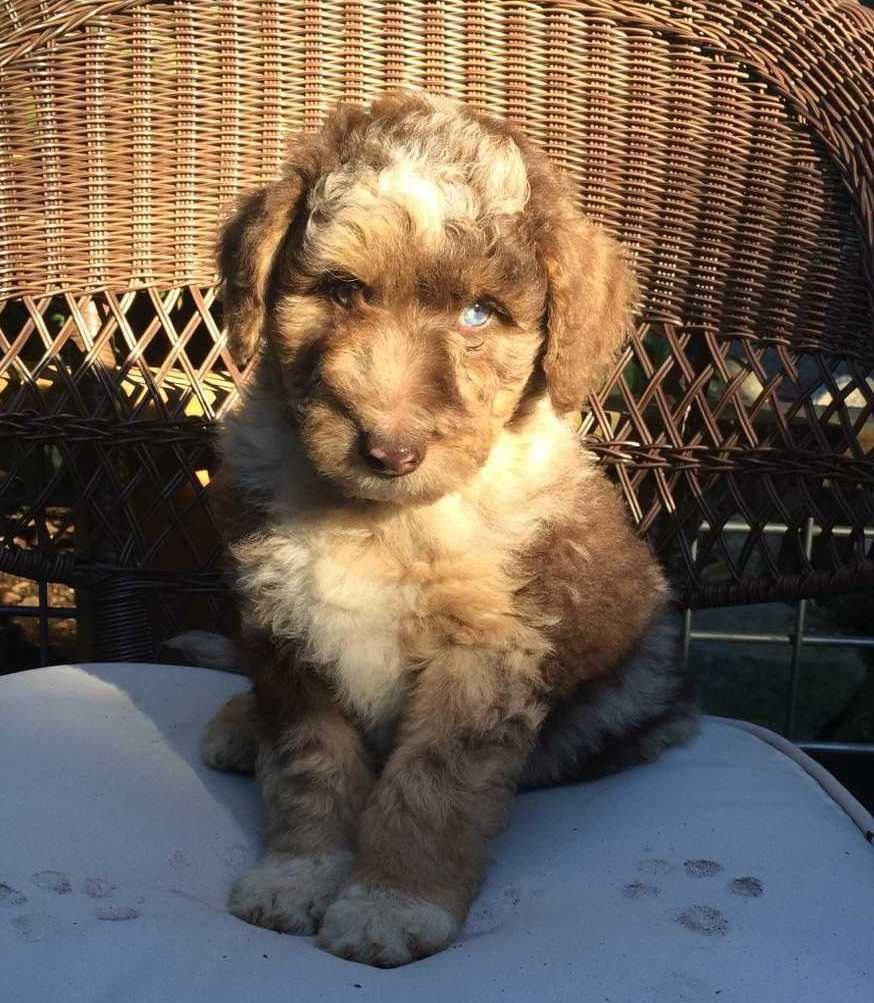 F1 Standard Aussiedoodle Puppy Puppies Aussiedoodle Dog Shedding