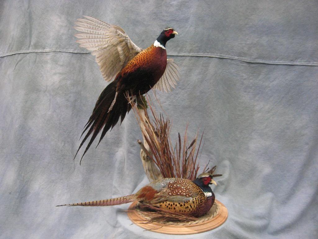 Double Ringneck Pheasant Mount Kansas Pheasant Mounts Waterfowl Taxidermy Taxidermy