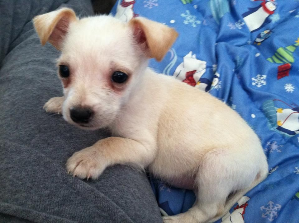 8 Week Old Chizer Chihuahua Puppies Cute Animals Puppies