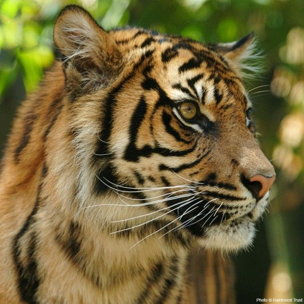 GreaterGood: Help save 40 acres of rainforest& Tiger habitat!!!