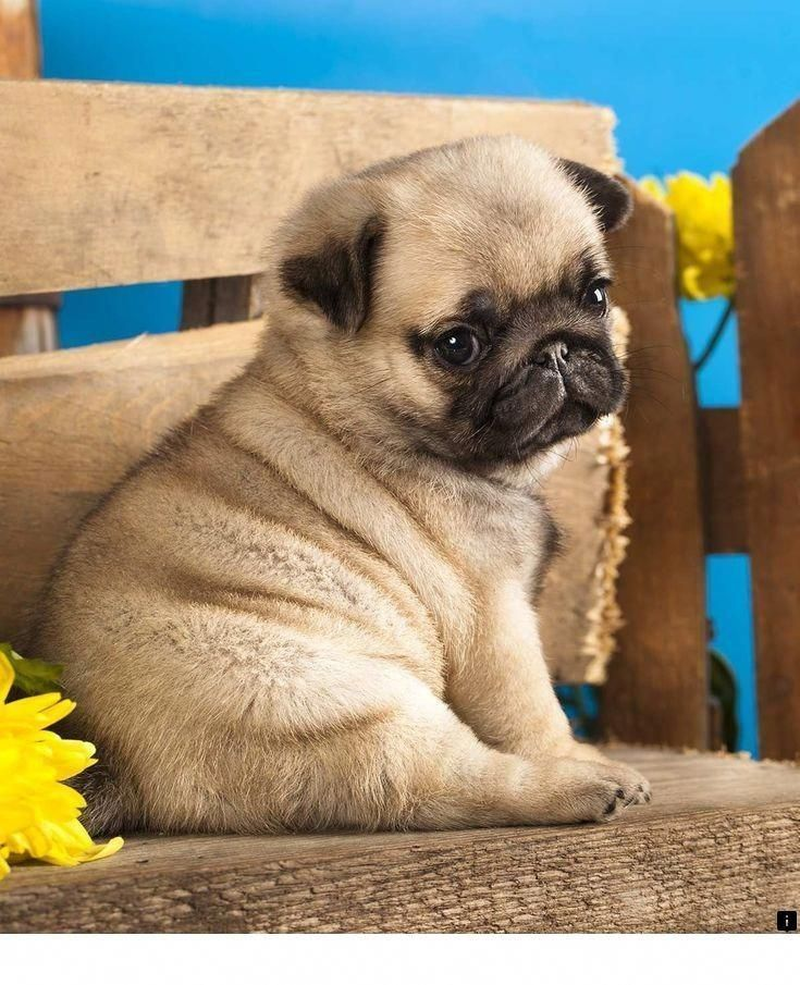 Explore Our Internet Site For More Information On Black Pug Puppy