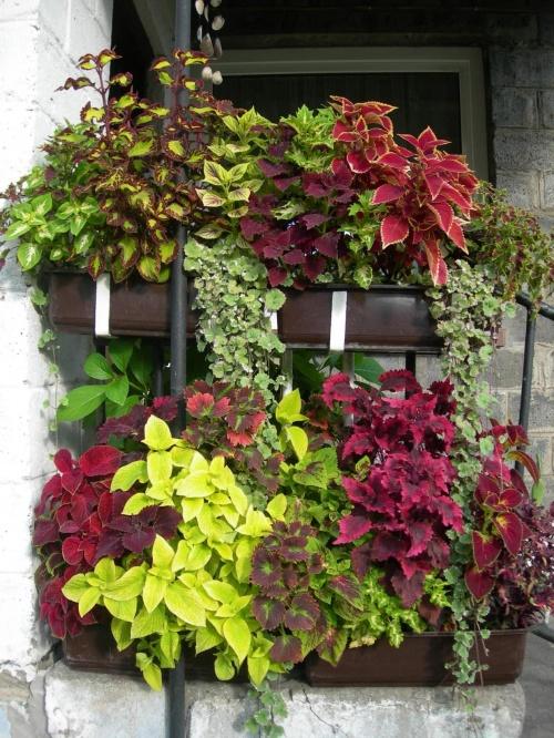 Kompozycje Kwiatowe Z Koleusem Szukaj W Google Container Gardening Balcony Garden Flowers