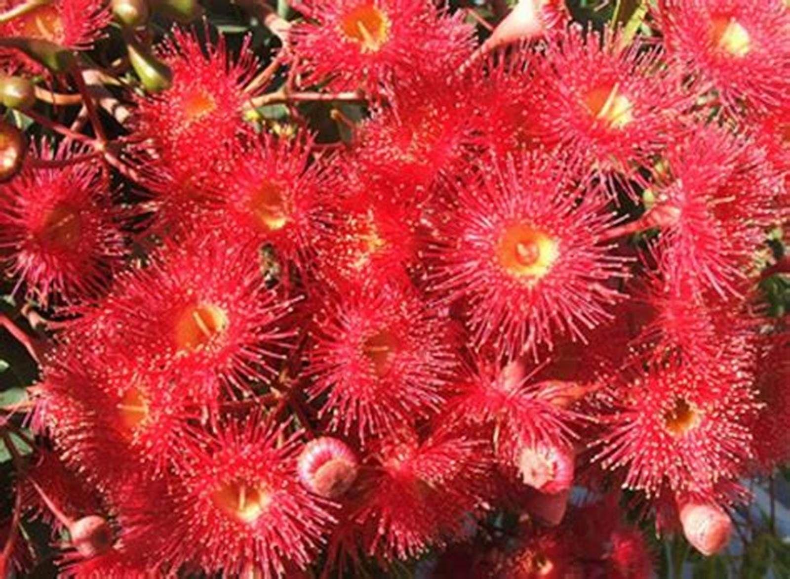 Red Flowering Gum Tree Seeds Tree Home Garden Plants