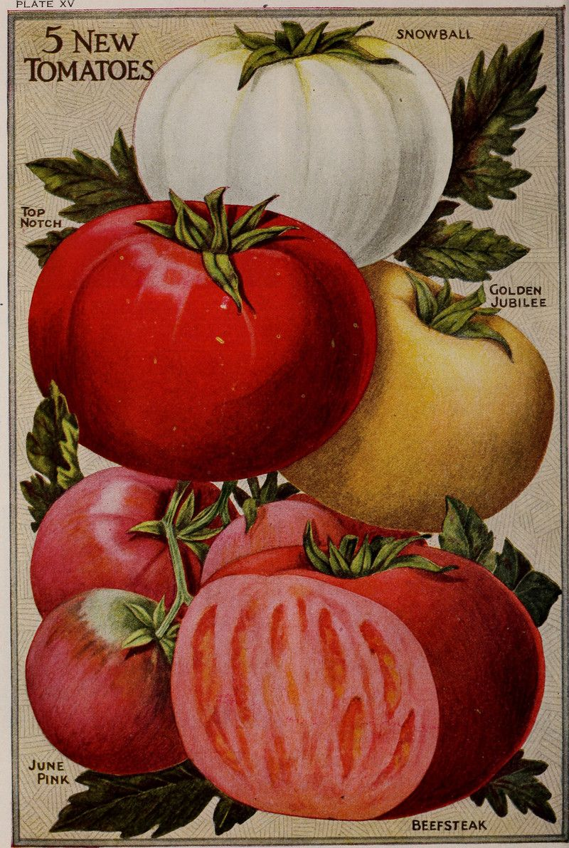 Illustration of tomatoes, c. 1920.