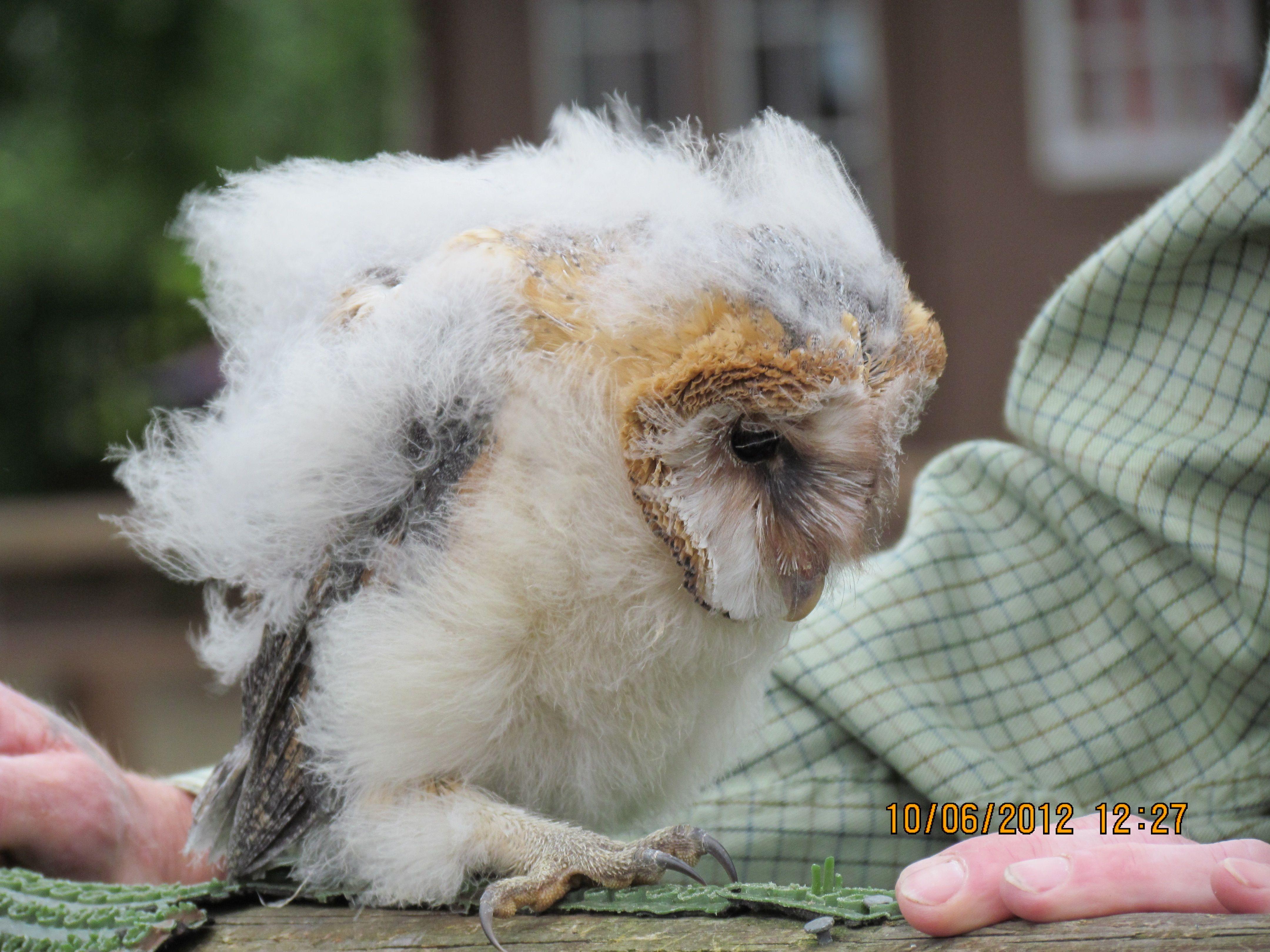 Barn Owlet   Baby barn owl, Owl, Animals
