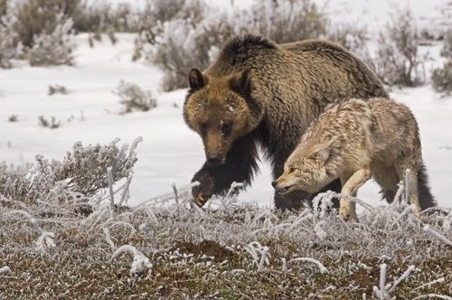 Image result for bear and coyote gif