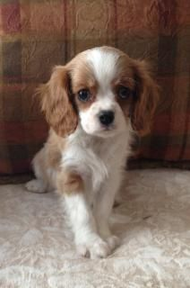 Cavalier Puppies for Sale in California Cavalier breeder