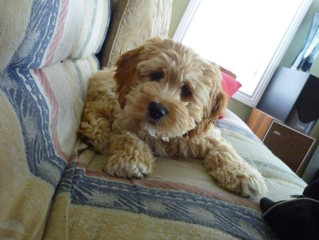 Related Image Dogs Cute Dogs Poodle Mix