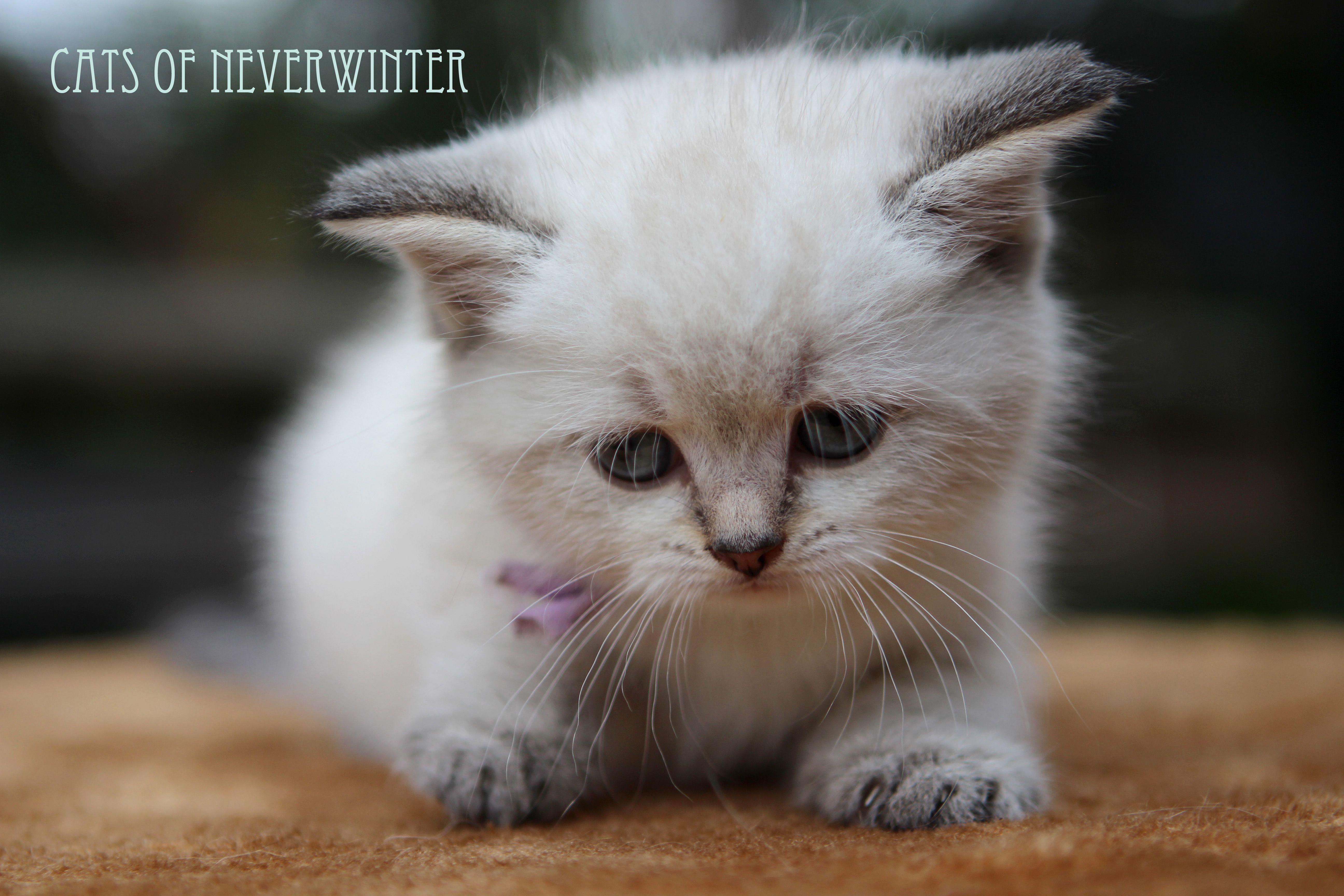 Our British Shorthair Kittens From Gaia Stars Stud From Feline Magic Georgie Porgie Pudding And Pie One Bro British Shorthair Kittens British Shorthair