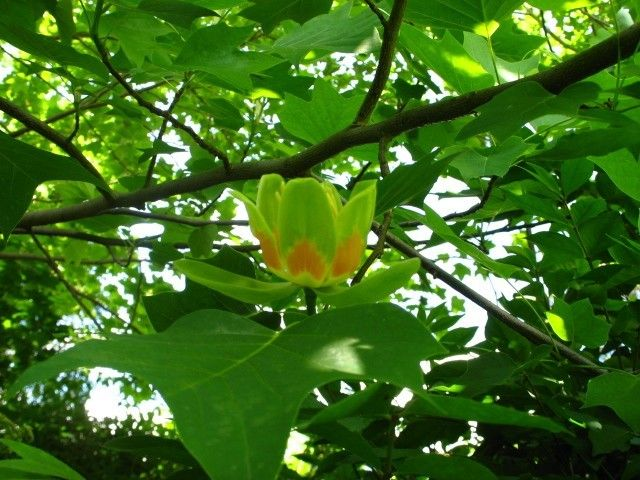 Tulip Poplar Tree Information How To Grow And Care For Trees