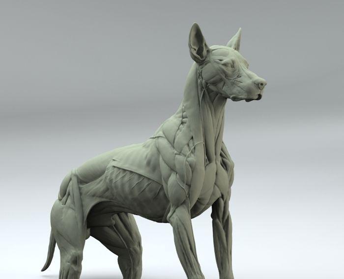 DOG ANATOMY 3D - Google 検索 | Dog Study Anatomy | Pinterest ...