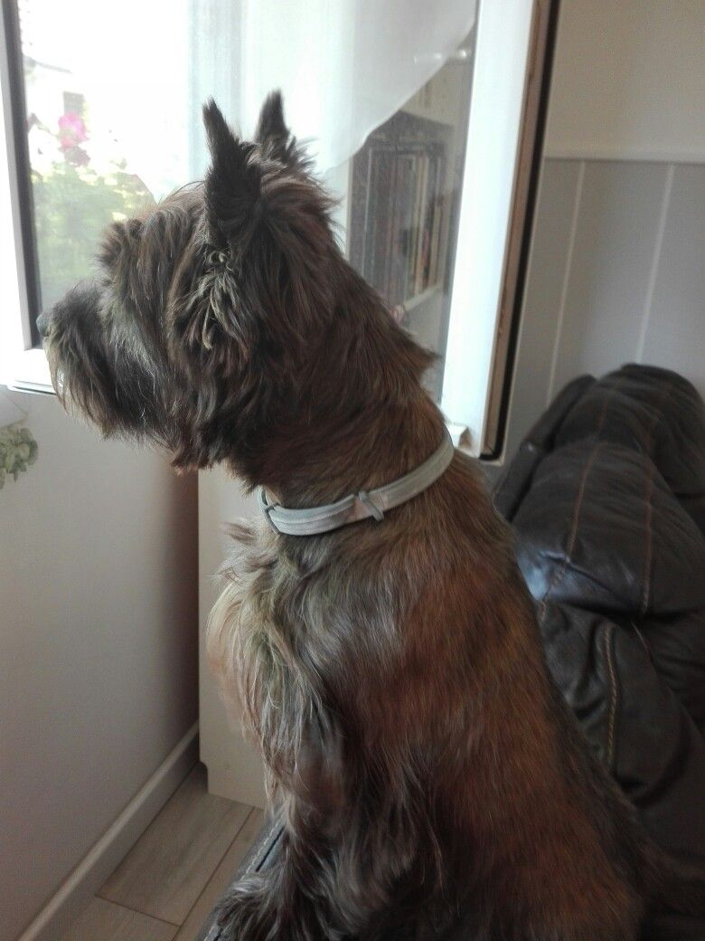 Pin By Terri Groff Breon On Cairn Terriers Cairn Terrier Pets