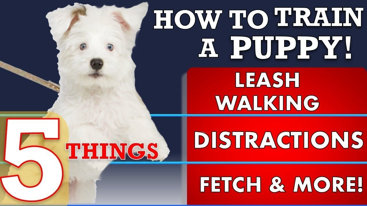 How To Train Your Puppy Leash Walking And 4 More Things Youtube