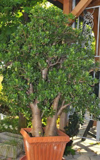 Pfennigbaum 30 Jahre alt Sukkulenten, Kakteen Pinterest Pflanzen, Sukkulenten und Garten ideen ~ 14014347_Sukkulenten Ableger Pflanzen