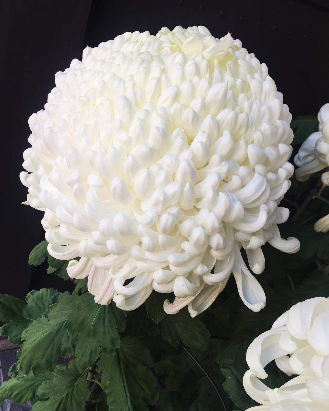 December 8th Giant Snowball Chrysanthemums Still On The Scene White Chrysanthemum Chrysanthemum Flowers